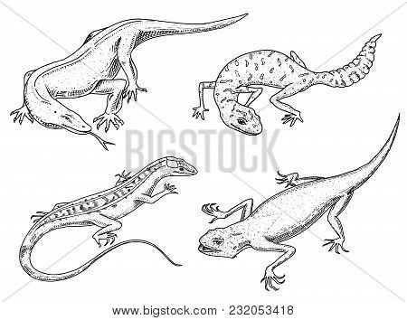 Komodo Dragon Monitor, American Sand Lizard, Exotic Reptiles Or Snakes, Spotted Fat-tailed Gecko. Wi
