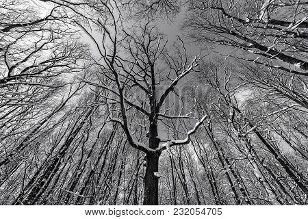 Monochrome Photo Of A Grunge Forest With Trees And Branches Seen From Below Upwards During Winter