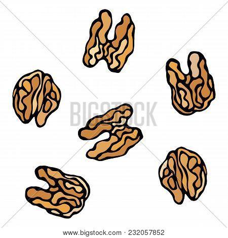 Walnut Kernel. Healthy Snack. Fresh Farm Market Harvest Product. Vegetarian Food. Realistic Hand Dra