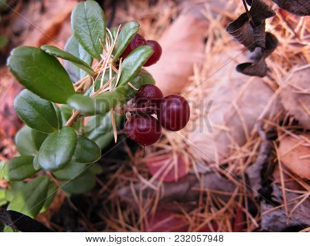 Lingonberry Red Berries On Nature Background In Forest. Selective Focus