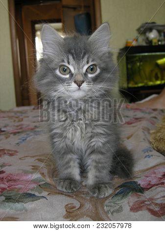Little Gray Fluffy Kitten, Portrait, Pet, Cat