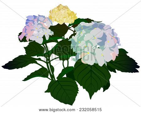 Flowering Bouquet Lilac Hydrangea On White Background