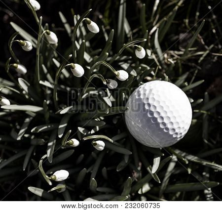 Golf Ball Out Of Bounds Close To Snowdrops.