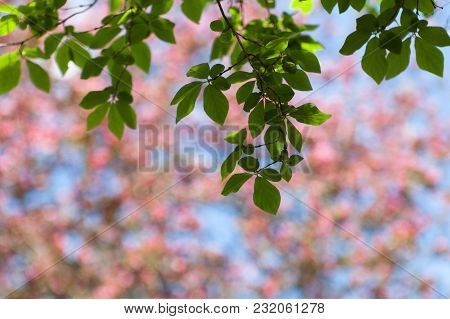 Spring Blur Pink And Blue Bokeh Background With Blooming Tree, Sky And Green Branches With Leaves