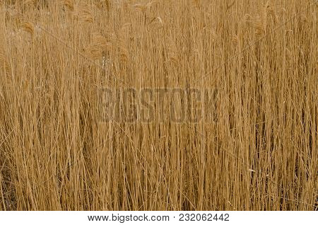 Thickly Growing Reeds Beige Dry In The Winter