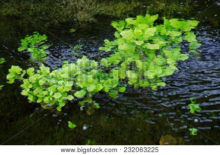 Green Aquatic Plants On The Surface Of The Spring Backwaters