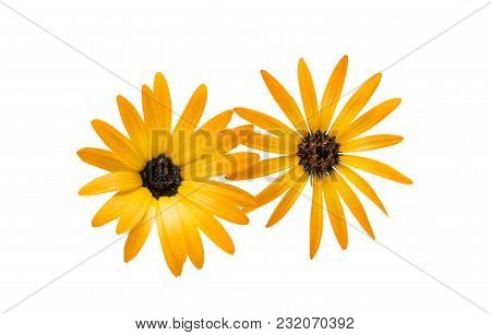Cape Daisies Flowerhead Isolated On White Background