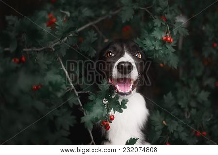 Cute Black White Border Collie In Forest