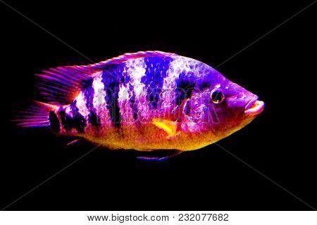 Goldfish Sideways On Black Background. No People