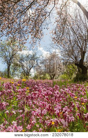 Blossoming Almond Trees And Purple Flowers In A Field During Early Spring In Cyprus