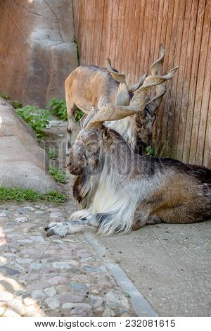 The Markhor In The Zoo Close Up
