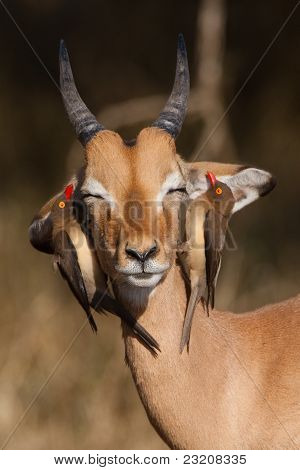 Impala and oxpeckers