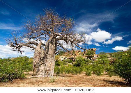 riesige baobab