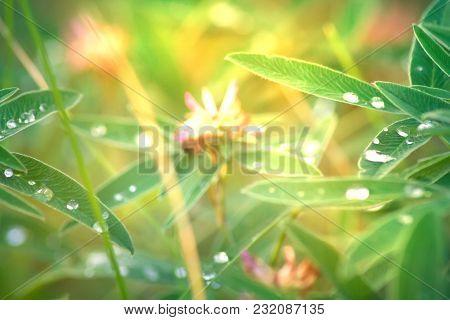 Leaves Clover Bedew Drops.
