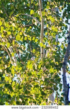 Green Birch Foliage. Summer Evening Sunny Forest.