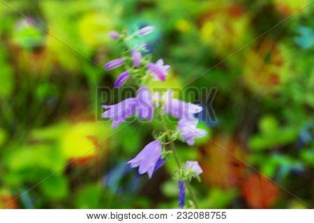 Blur Forest Purple Bellflowers Bokeh Toned Background