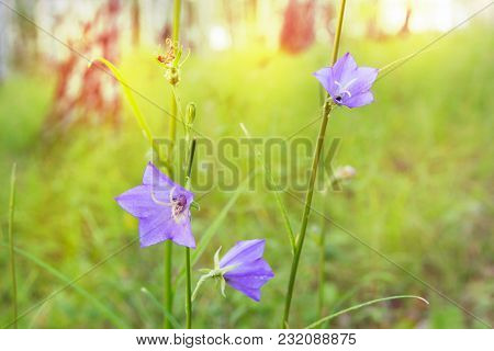 Blur Forest Purple Bell Flowers Bokeh Toned Background