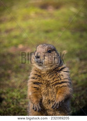 Portrait Of A Black-tailed Prairie Dog On Grassy Ground On A Sunny Spring Day
