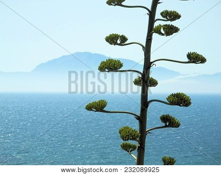 Agave Blossoms In Front Of A Sea And A Coast. View Of The Strait Of Gibraltar. The Strait Connects T