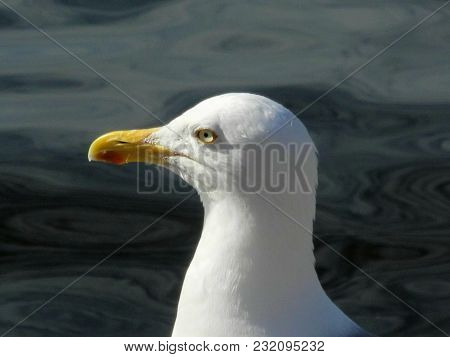 Seagull Looks In The Sun - Clear View To The Front. The Head Of A Herring Gull Looks Exactly In The