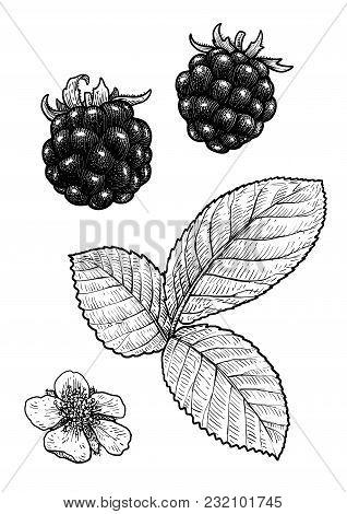 Blackberry Illustration, Drawing, Engraving, Ink, Line Art