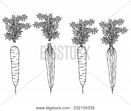 Fresh Orange Carrots With Leaves. Ripe Vegetables. Carrots With Separated Tops. Vegetarian Cuisine.
