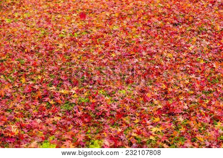 Green Grass And Autumn Red, Yellow, Orange Maple Leaves Fall On Floor Under The Tree In Kyoto, Japan