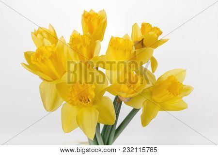 Spring Floral Border, Beautiful Fresh Daffodils Flowers, Isolated On White Background. Selective Foc