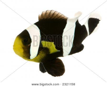 Saddleback Clownfish - Amphiprion Polymnus