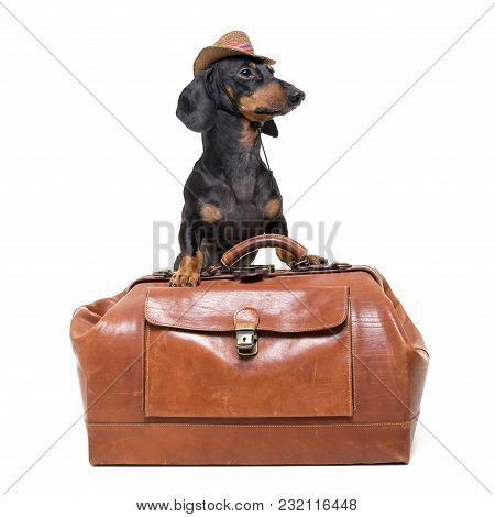 Dachshund Breed Dog, Black And Tan, Vet In Cowboy Hat Stands On Vintage Suitcase, Is Isolated On Whi