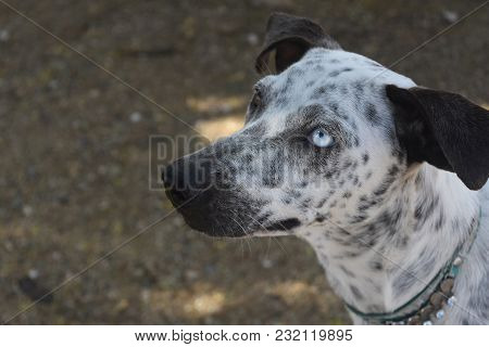 Unusual And Rare Blue And Brown Eye On A Cunucu Dog.