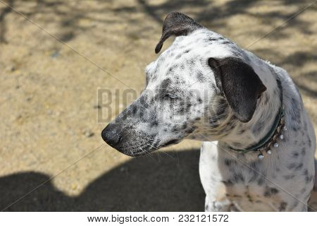 Aruba White And Black Spotted Cunucu Island Dog.