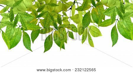 Fresh Green Leaves Border On White Background. Isolated Without Shadow.