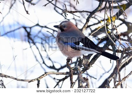 Eurasian Jay (garrulus Glandarius) Sits In The Branches Of A Wild Apple Tree Against The Background