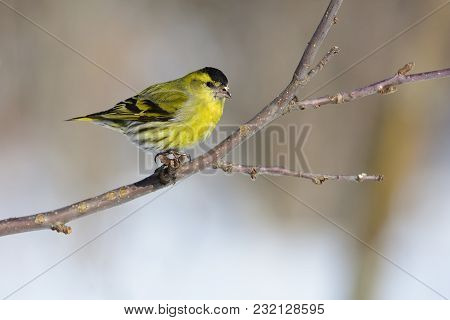 Claws Firmly Hold The Eurasian Siskin (spinus Spinus) On The Branch Of A Wild Apple Tree.