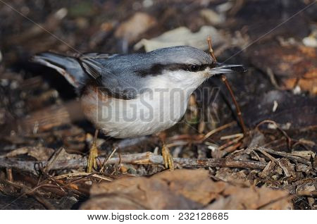 The Eurasian Nuthatch Or Wood Nuthatch (sitta Europaea) With A Sunflower Seed In Its Beak.