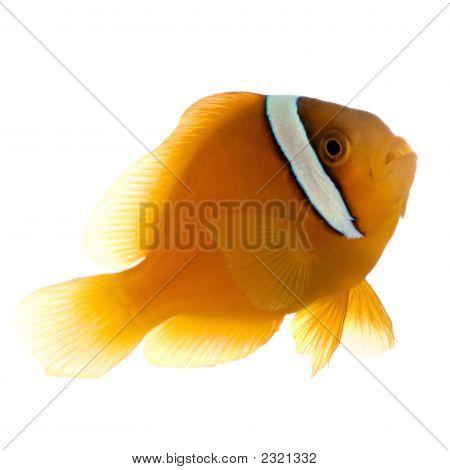 Sedlo Anemonefish - Amphiprion Ephippium