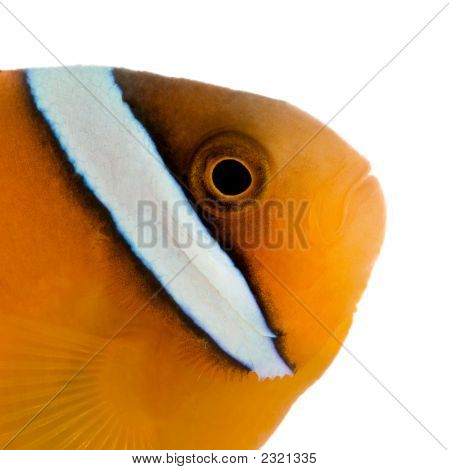 Saddle Anemonefish - Amphiprion  Ephippium