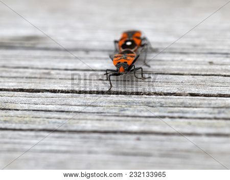 Closeup Of A Two Orange Lily Beetle Mating