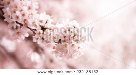A branch of Japanese cherry (somei -yoshino cherry))in full bloom, Pastel pink background.Shallow depth of field.
