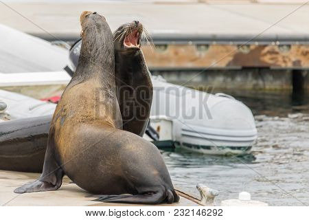 Two Sea Lions Mouths Open Fighting For A Spot On The Dock