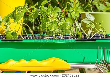 Container With The Seedlings Of Morning Glory Flowers And Mini-ripper On A Wooden Table In Spring Ga
