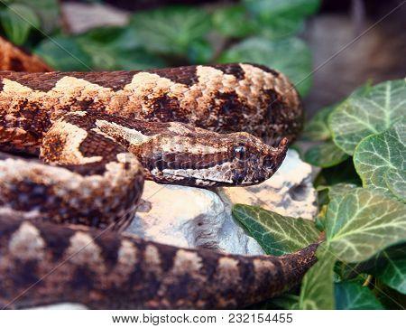 Horned Viper, Vipera Ammodytes, Is The Most Dangerous Of The European Venomous Snakes