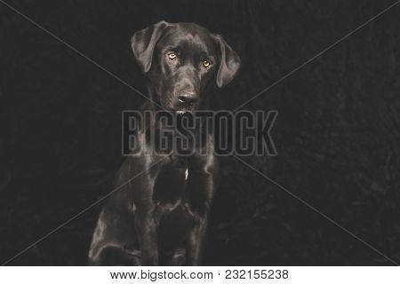 Young Black Labrador Dog Slightly Tilting Head. Against Black Felt Background.