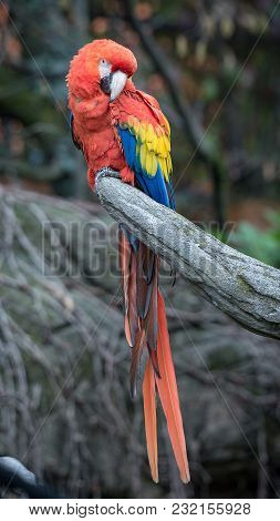 The Red-and-green Macaw (ara Chloropterus), Also Known As The Green-winged Macaw, Is A Large, Mostly