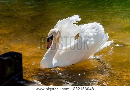 The Swan Swimming In The Water With Opened Wings