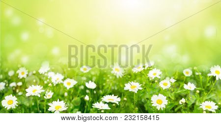 Nature Summer Background With Chamomile Flowers. Beautiful Landscape Flowers Meadow In Sunny Day Wit