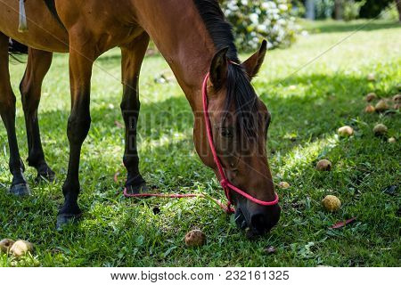 Profile Of Brown Horse Eating Fruits Next To Trees, Grassy Surroudings, Perspective, Blurred. Cunha,