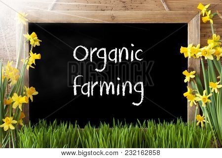 Blackboard With English Text Organic Farming. Sunny Spring Flowers Nacissus Or Daffodil With Grass.