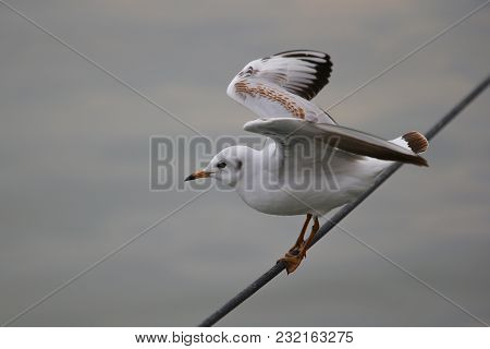 Black-headed Gull, Chroicocephalus Ridibundus, Winter Plumage, Catching The Wire And Spreading Wings